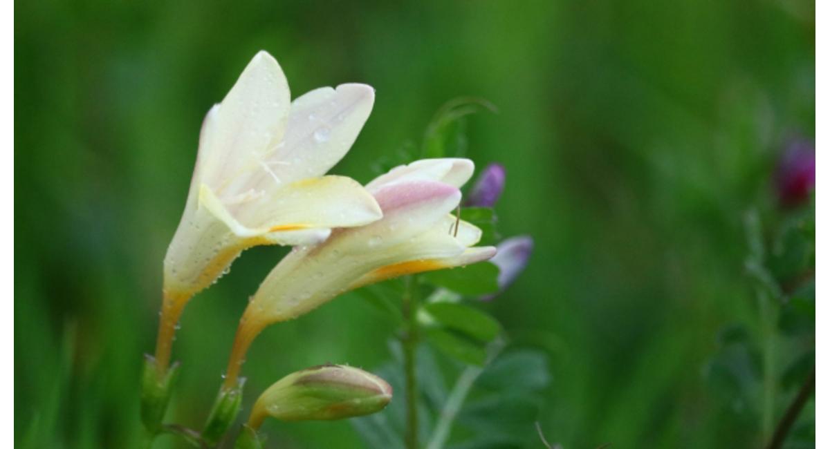言葉 フリージア 花